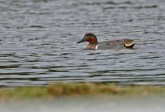 Green-winged Teal - Greece - © Dick Horsey - Apr 01, 2016