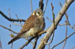 American Kestral - Burger Park - © Jim Adams - Apr 03, 2016