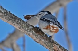 White-breasted Nuthatch - Kent Park - © Dick Horsey - Apr 05, 2016