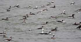 Long-tailed Duck - Irondequoit Bay Outlet - © Dick Horsey - Apr 07, 2016