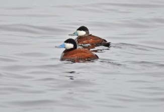 Ruddy Duck - Montezuma NWR - © Salvador and Miriam Barragan - Apr 10, 2016