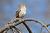 Northern Mockingbird - Highland Park - © Dick Horsey - Apr 18, 2016