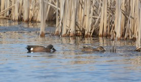 Blue-winged Teal - Braddock Bay Salmon Creek - © Nick Kachala - Apr 18, 2016