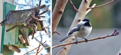 Black-capped Chickadee - Irondequoit - © Candace Giles - Apr 19-25, 2016