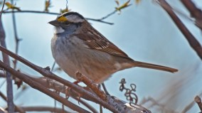 White-throated Sparrow - Island Cottage Woods - © Dick Horsey - Apr 20, 2016