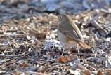Hermit Thrush - Island Cottage Woods - © Nick Kachala - Apr 23, 2016