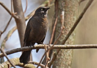 Rusty Blackbird - Firehouse Woods - © Dick Horsey - Apr 28, 2016