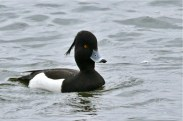 Tufted Duck - Conesus Lake - © Jeanne Verhulst - Apr 07, 2016
