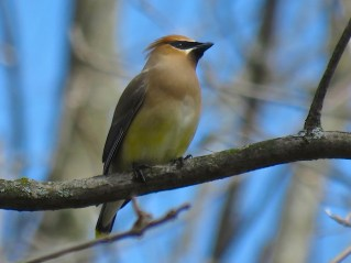 Cedar Waxwing - Oatka Creek Park - © Jim Adams - Apr 28, 2016