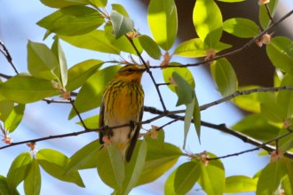 Cape May Warbler - Cobbs Hill - © Jeanne Verhulst - May 07, 2016