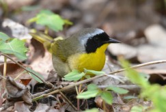 Common Yellowthroat - Firehouse Woods - © Dick Horsey - May 13, 2016