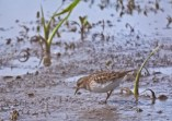 Least Sandpiper - High Acres Nature Area - © Dick Horsey - May 18, 2016