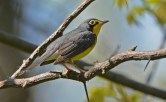Canada Warbler - Firehouse Woods - © Dick Horsey - May 24, 2016