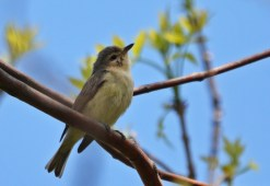 Warbling Vireo - Lakeview Church Trail - © Dick Horsey - May 24, 2016