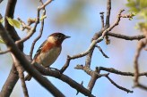 Bay-breasted Warbler - Firehouse Woods - © Jeanne Verhulst - May 25, 2016