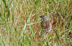 Chipping Sparrow - Mendon Ponds - © Dick Horsey - June 22, 2016