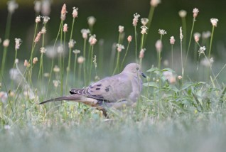 Mourning Dove - Mt. Hope Cemetery - © Dick Horsey - June 26, 2016