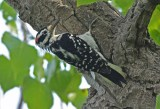 Hairy Woodpecker - LaSalle Landing Park - © Dick Horsey - Aug 15, 2016