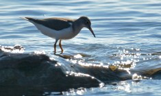 Spotted Sandpiper - Hamlin Beach Park - © Dick Horsey - Aug 19, 2016