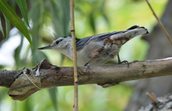 White-breasted Nuthatch - Hamlin Beach Park - © Dick Horsey - Aug 19, 2016