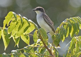 Eastern Kingbird - Hamlin Beach Park - © Dick Horsey - Aug 19, 2016