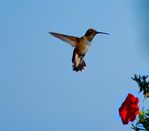 Ruby-throated Hummingbird - Webster - © Kathryn Carangelo - Aug 25, 2016