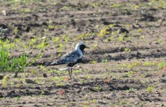 Black-bellied Plover - Church Rd Hamlin - © Dick Horsey - Aug 26, 2016