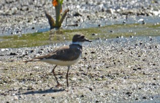 Killdeer - High Acres Nature Area - © Dick Horsey - Aug 30, 2016