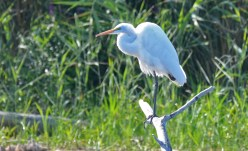 Great Egret - High Acres Nature Area - © Dick Horsey - Sep 04, 2016