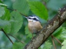 Red-breasted Nuthatch - Irondequoit - © Carolyn Ragan - Sep 15, 2016