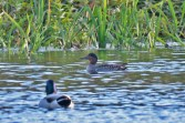 Green-winged Teal - High Acres Nature Area - © Dick Horsey - Nov 06, 2016