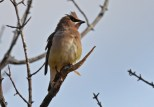 Cedar Waxwing - Whiting Rd Nature Preserve - © Dick Horsey - Nov 12, 2016