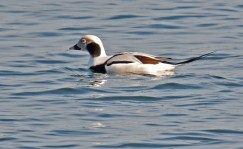 Long-tailed Duck - Irondequoit Bay Outlet - © Dick Horsey - Nov 18, 2016