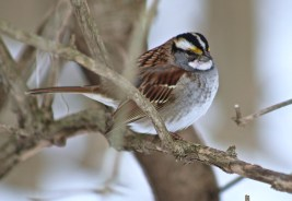 White-throated Sparrow - Mendon Ponds - © Candace Giles - Dec 21, 2016