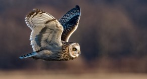 Short-eared Owl - West Bloomfield - © Zaphir Shamma - Jan 01, 2017