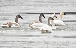 Trumpeter Swan - Irondequoit Bay Outlet - © Eunice Thein - Jan 05, 2017