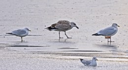 Ring-billed Gull (L), Great Black-backed Gull (C), Herring Gull (R) - Irondequoit Bay Outlet - © Dick Horsey - Jan 13, 2017