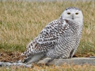 Snowy Owl - Finger Lakes Airport - © Eunice Thein - Jan 20, 2017
