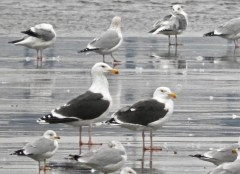 Great Black-backed Gull - Irondequoit Bay Outlet - © Eunice Thein - Jan 20, 2017
