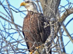 Bald Eagle - Fisher - © Claudia Walsh - Feb 03, 2017