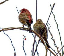 House Finch - Durand Eastman Park - © Candace Giles - Feb 06, 2017