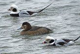 Redhead (F) with Long-tailed Duck - Irondequoit Bay Outlet - © Candace Giles - Feb 10, 2017