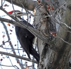 Pileated Woodpecker - Irondequoit - © Candace Giles - Feb 17, 2017