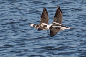 Long-tailed Duck - Irondequoit Bay Outlet - © Brett Hoffman - Feb 18, 2017