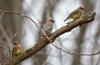 Bohemian Waxwing (C) and Cedar Waxwing (L/R) - Whiting Road Nature Preserve - © Dick Horsey - Feb 26, 2017