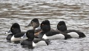 Ring-necked Duck - North Ponds Park - © Eunice Thein - Mar 01, 2017