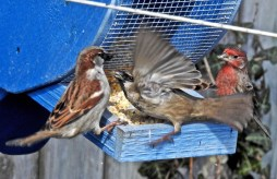 House Sparrow (L/C) and House Finch (R) - Irondequoit - © Candace Giles - Mar 02, 2017