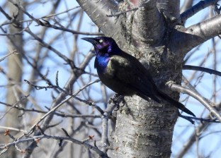 Common Grackle - Victor - © Claudia Walsh - Mar 22, 2017