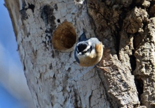 Red-breasted Nuthatch - Highland Park - © Dick Horsey - Mar 23, 2017