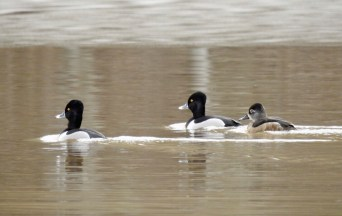 Ring-necked Duck - Boughton Park - © Claudia Walsh - Mar 26, 2017